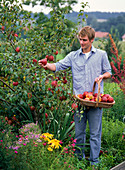 Young man reaps Malus 'Retina' (apple)