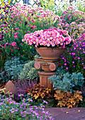 Chrysanthemum (autumn chrysanthemum) in terracotta bowl