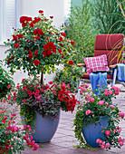 Pink 'Medley Red', often flowering, stem