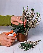 Cut back Calluna vulgaris (summer heather)