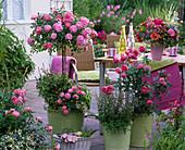 Rose 'Charming', dwarf rose, slightly fragrant, healthy, robust