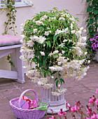 Begonia 'Illumination' (garland begonia), white flowering