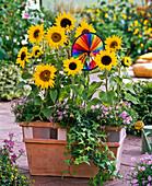 Helianthus (sunflower), Brachyscome (pink daisy)