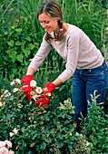 Woman cutting out blooms of pink (rose)