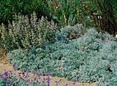 Artemisia schmidtiana 'Nana' (sage brush)