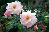 Rose 'New Dawn', more flowering, light apple fragrance, healthy and reliable