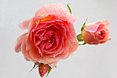 Pink 'Kir Royal' (climbing rose), often flowering, delicate scent
