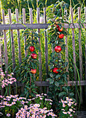 Malus Ballerina (pillar apple) in front of wooden fence, Aster (white wood aster)