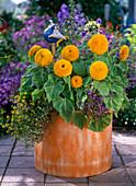 Helianthus 'Teddy Bear' (blooming Sunflowers), Sanvitalia
