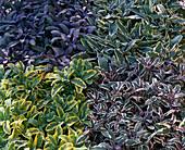 Salvia officinalis 'Tricolor' 'Icterina' 'Red mill' 'Purpurascens'