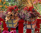 Calluna 'Garden Girls' (Blossoming buds of summer heather)