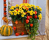 Chrysanthemum 'Vymini' (autumn chrysanthemum) in bamboo basket