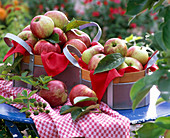 Malus 'Bohnapfel' (apple) in basket, towel