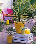 Yucca gloriosa 'Variegata' (yucca palm)