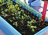 Seed tape, Italian salad meadow