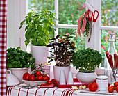 Herbs at the window Ocimum 'Great Green Genoveser' 'Lemon Basil'