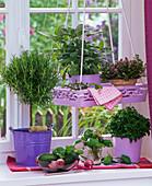 Herbs on the window, Rosmarinus, Salvia 'Berggarten'