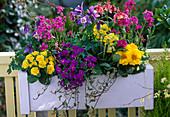 Aquilegia 'Spring Magic' columbines, Primula belarina 'Butter Yellow', Primula