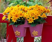 Chrysanthemum Yahou 'Apricot' (Autumn Chrysanthemum)
