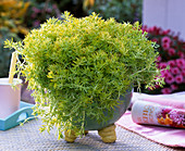 Sedum 'Lemon Ball' in hand-made ceramic pot