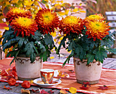 Chrysanthemum grandiflorum (Deko - Chrysanthemen)
