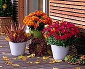 Chrysanthemum Yahou 'Titane' rot, 'Tirex' orange (Herbstchrysanthemen)