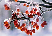 Malus 'Paul Hauber' (ornamental apple) frozen on branch