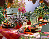 Sage table decoration Salvia 'Tricolor' 'Icterina' 'Red mill'