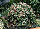 Viburnum tinus (Laurel snowball, Mediterranean snowball)