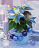 Euphorbia pulcherrima 'Fantasy star' sprayed blue