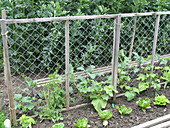 Mixed bed with Cucumis and a climbing frame, Lactuca