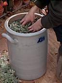 Artemisia abrotanum, add broth with water