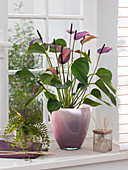 Anthurium andreanum 'Love' series (Flamingo flower)