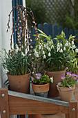 Galanthus nivalis (Snowdrop), Primula (Primrose), Salix 'Kilmarnock'