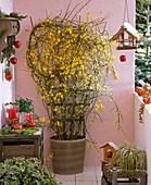 Jasminum nudiflorum (winter jasmine) blooming on the trellis