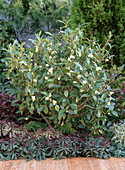 Camellia sinensis (tea plant), simple white flowers