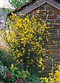 Jasminum nudiflorum planted at small garden house, Skimmia