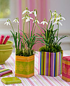 Galanthus nivalis (snowdrop) in colorful tin cans