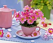 Primula acaulis (spring primrose) in espresso cup