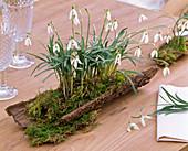 Galanthus nivalis (snowdrop) planted in bark