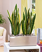 Sansevieria (bow hemp) in metal box with 'mulch' of stones