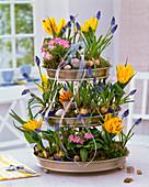 Tulipa, Muscari, Primula