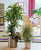 Dracaena fragrans, planted with Maranta leuconeura