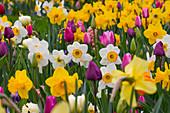 Buntes Beet mit Tulipa (Tulpen), Narcissus (Narzissen)