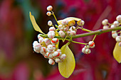 Euonymus fortunei 'Coloratus' (climbing spindle)