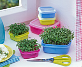 Cress sowing in food containers