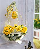 Primula acaulis (spring primrose) in semicircular basket