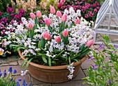 Terracotta bowl with Tulipa 'Evening Breeze' (tulip)
