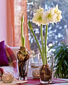 Amaryllis mit ausgewaschenen Wurzeln im Glas ziehen : 2/2