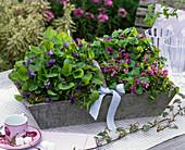 Viola odorata (fragrance violet) in blue and pink in gray wooden basket